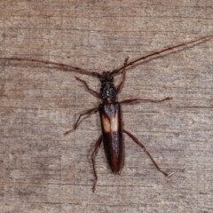 Epithora dorsalis (Longicorn Beetle) at Melba, ACT - 10 Nov 2020 by kasiaaus
