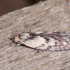 Phylomictis maligna (A Concealer moth) at Melba, ACT - 10 Nov 2020 by kasiaaus