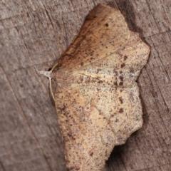 Rhinodia rostraria at Melba, ACT - 11 Nov 2020