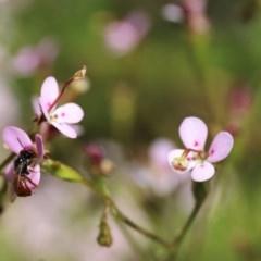 Exoneura sp. (genus) at ANBG - 13 Nov 2020