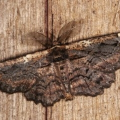 Pholodes sinistraria (Sinister Moth, Frilled Bark Moth) at Melba, ACT - 10 Nov 2020 by kasiaaus