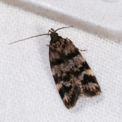 Barea phaeomochla (A concealer moth) at Melba, ACT - 10 Nov 2020 by kasiaaus