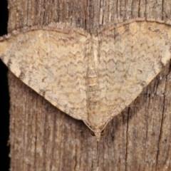 Chrysolarentia mecynata (Mecynata Carpet Moth) at Melba, ACT - 10 Nov 2020 by kasiaaus