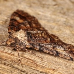 Gastrinodes argoplaca (Cryptic Bark Moth) at Melba, ACT - 10 Nov 2020 by kasiaaus