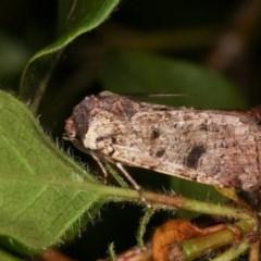 Agrotis porphyricollis (Variable Cutworm) at Melba, ACT - 10 Nov 2020 by kasiaaus