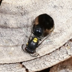 Hylaeus (Hylaeorhiza) nubilosus (A yellow-spotted masked bee) at Melba, ACT - 11 Nov 2020 by kasiaaus