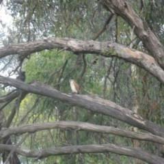 Falco cenchroides (Nankeen Kestrel) at Lake Ginninderra - 14 Nov 2020 by dwise