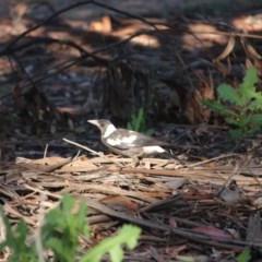 Gymnorhina tibicen (Australian Magpie) at Hughes, ACT - 10 Nov 2020 by BigDad