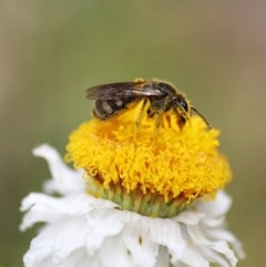 Lasioglossum (Chilalictus) sp. (genus & subgenus) at ANBG - 13 Nov 2020