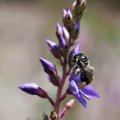 Lasioglossum (Chilalictus) sp. (genus & subgenus) (Halictid bee) at ANBG - 13 Nov 2020 by HelenBoronia