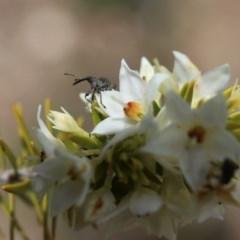 Meriphus fullo (Flower Weevil) at Acton, ACT - 13 Nov 2020 by HelenBoronia