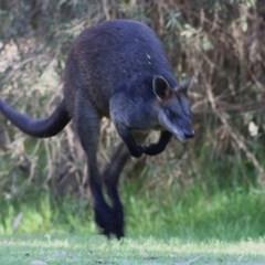 Wallabia bicolor (Swamp Wallaby) at Wonga Wetlands - 13 Nov 2020 by Kyliegw