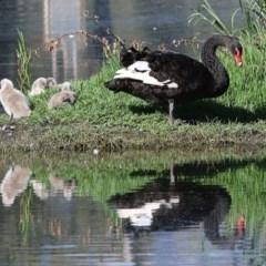 Cygnus atratus (Black Swan) at Wonga Wetlands - 13 Nov 2020 by Kyliegw