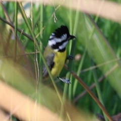 Falcunculus frontatus (Crested Shrike-Tit) at Wonga Wetlands - 13 Nov 2020 by Kyliegw