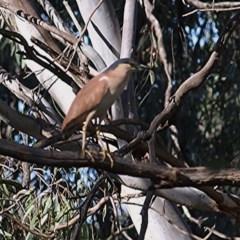 Nycticorax caledonicus (Nankeen Night-Heron) at Wonga Wetlands - 13 Nov 2020 by Kyliegw