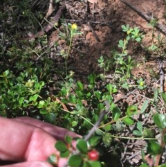 Cotoneaster microphyllus (Cotoneaster) at O'Malley, ACT - 14 Nov 2020 by Tapirlord