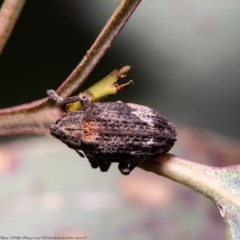 Oxyops fasciatus (A weevil) at Woodstock Nature Reserve - 9 Nov 2020 by Roger
