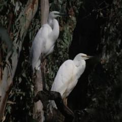 Ardea alba (Great Egret) at Splitters Creek, NSW - 13 Nov 2020 by Kyliegw