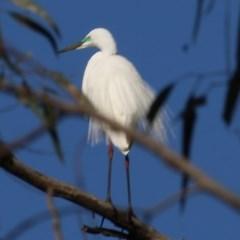 Ardea alba (Great Egret) at Wonga Wetlands - 13 Nov 2020 by Kyliegw