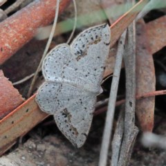 Taxeotis intextata (Looper Moth, Grey Taxeotis) at Dryandra St Woodland - 13 Nov 2020 by ConBoekel