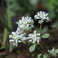 Poranthera microphylla (Poranthera) at Dryandra St Woodland - 13 Nov 2020 by ConBoekel