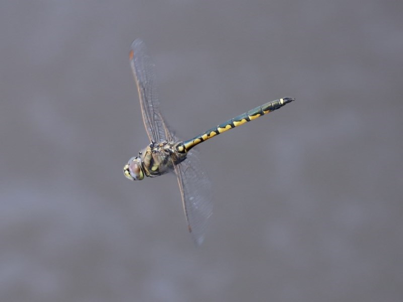 Hemicordulia tau at Jerrabomberra Wetlands - 13 Nov 2020