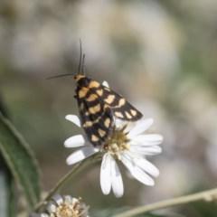 Asura lydia (Lydia Lichen Moth) at ANBG - 9 Nov 2020 by AlisonMilton