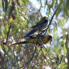 Platycercus elegans flaveolus (Yellow Rosella) at Wonga Wetlands - 13 Nov 2020 by Kyliegw