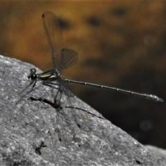 Austroargiolestes icteromelas (Common Flatwing) at Paddys River, ACT - 14 Nov 2020 by JohnBundock