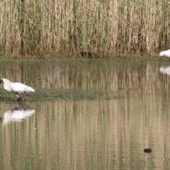 Platalea regia (Royal Spoonbill) at Wonga Wetlands - 13 Nov 2020 by Kyliegw