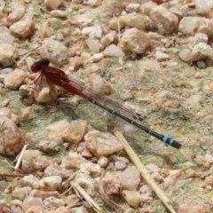 Xanthagrion erythroneurum (Red & Blue Damsel) at Jerrabomberra Wetlands - 13 Nov 2020 by RodDeb