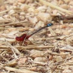 Xanthagrion erythroneurum at Jerrabomberra Wetlands - 13 Nov 2020