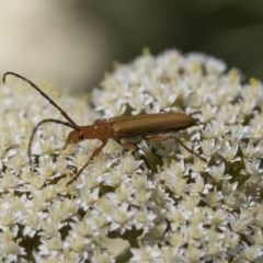 Stenoderus concolor (Longhorn Beetle) at ANBG - 9 Nov 2020 by AlisonMilton