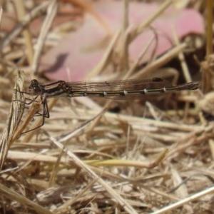 Austrolestes annulosus at Jerrabomberra Wetlands - 13 Nov 2020