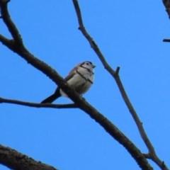 Taeniopygia bichenovii (Double-barred Finch) at Fyshwick, ACT - 13 Nov 2020 by RodDeb