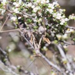 Archimantis sp. (genus) (Large Brown Mantis) at Acton, ACT - 9 Nov 2020 by AlisonMilton