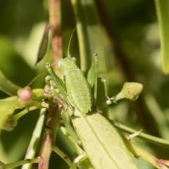 Caedicia simplex (Common Garden Katydid) at Acton, ACT - 9 Nov 2020 by AlisonMilton