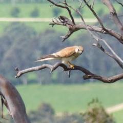 Falco cenchroides (Nankeen Kestrel) at Black Range, NSW - 14 Nov 2020 by MatthewHiggins