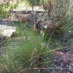 Rytidosperma pallidum (Red-anther Wallaby Grass) at Greenleigh, NSW - 14 Nov 2020 by LyndalT
