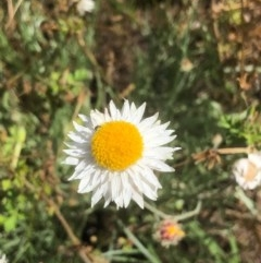 Leucochrysum albicans subsp. tricolor (Hoary Sunray) at Gossan Hill - 13 Nov 2020 by goyenjudy