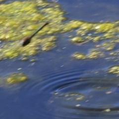 Hemicordulia australiae at Wodonga - 15 Nov 2020