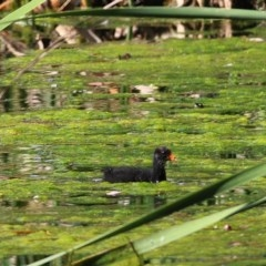 Gallinula tenebrosa (Dusky Moorhen) at Wodonga - 14 Nov 2020 by Kyliegw