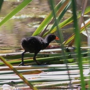 Gallinula tenebrosa at Wodonga - 15 Nov 2020