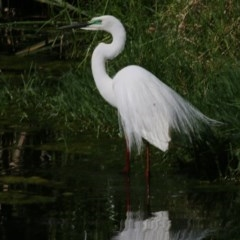 Ardea alba (Great Egret) at Wodonga - 14 Nov 2020 by Kyliegw