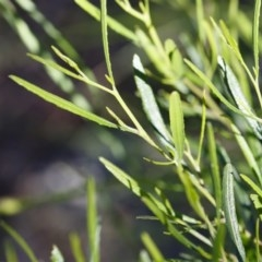 Dodonaea viscosa subsp. angustifolia at Illilanga & Baroona - 10 Nov 2020