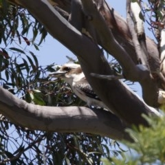 Dacelo novaeguineae (Laughing Kookaburra) at Illilanga & Baroona - 14 Nov 2020 by Illilanga