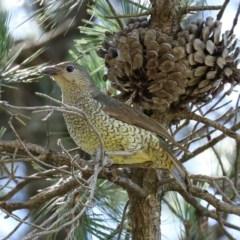 Ptilonorhynchus violaceus (Satin Bowerbird) at Fadden, ACT - 15 Nov 2020 by RodDeb