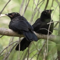 Corcorax melanorhamphos (White-winged Chough) at Fadden, ACT - 15 Nov 2020 by RodDeb
