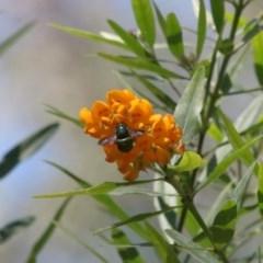Xylocopa aeratus (Metallic Green Carpenter Bee) at Acton, ACT - 15 Nov 2020 by TimL