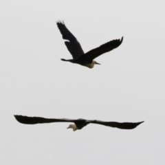 Ardea pacifica (White-necked Heron) at Michelago, NSW - 12 Nov 2020 by Illilanga